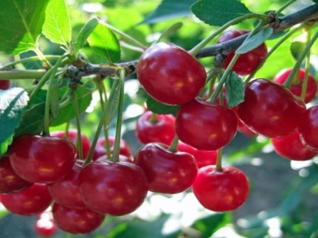 Правила обрезки вишни и черешни после плодоношения