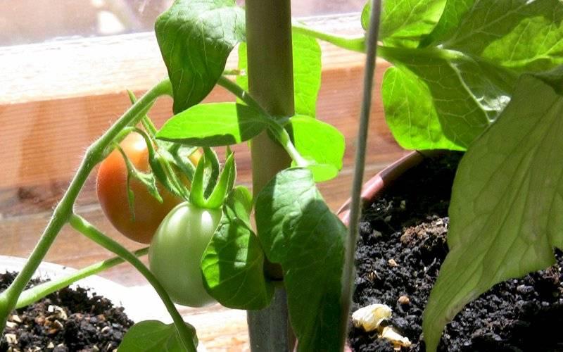 Когда сажать помидоры на рассаду по лунному календарю