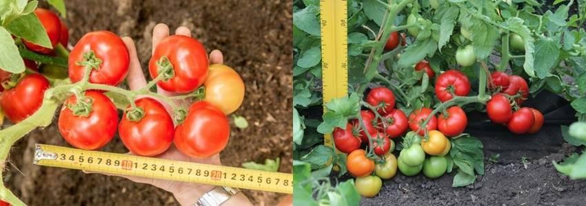 Один из лучших скороспелых и неприхотливых сортов — томат «любаша f1»: урожайность и характеристики