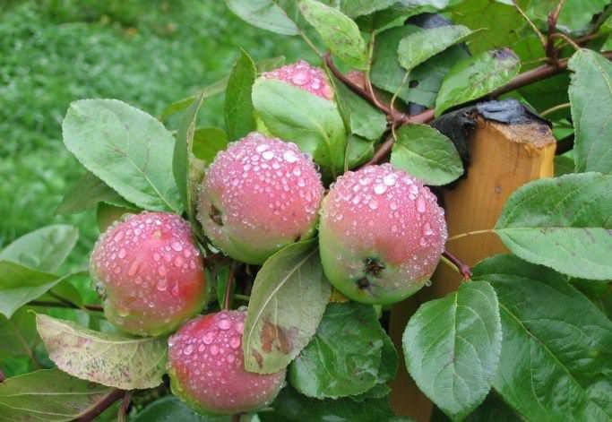 Яблоня малиновка: особенности сорта и ухода