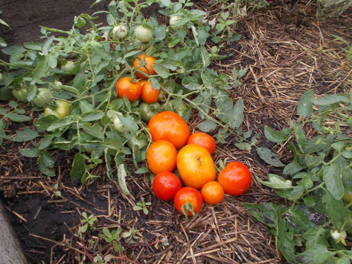 Почему плохо растет рассада помидоров и что делать в домашних условиях