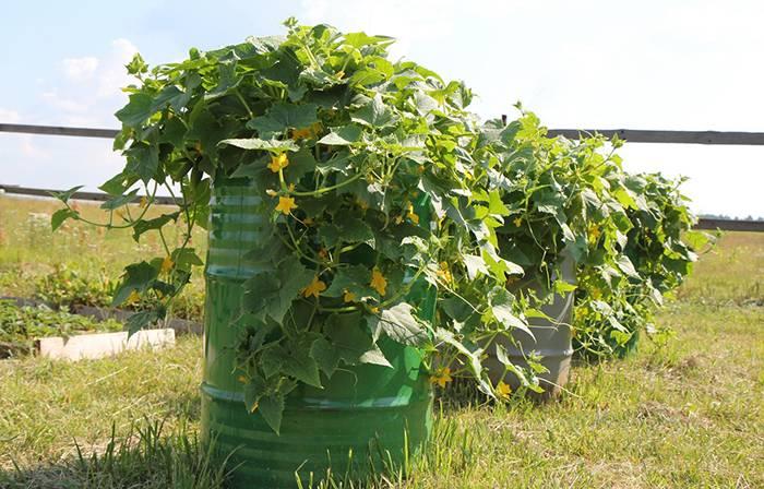 Помидоры в бочке выращивание