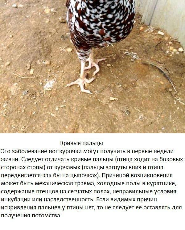 Выпадение яйцевода у кур — как лечить и что делать, причины