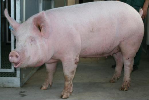 Йоркширская порода свиней (йоркшир)