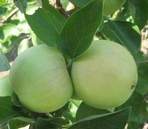 Выращивание яблони юнга