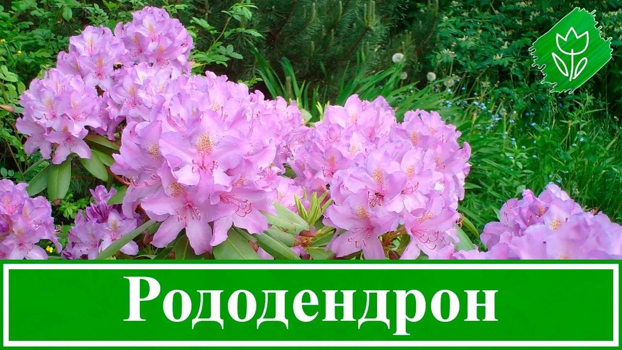 Описание рододендрона шлиппенбаха — его лечебные свойства и советы по уходу