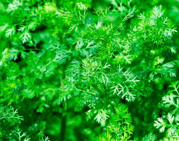 Что такое кориандр (по-другому кинза): польза и вред, отличия, применение