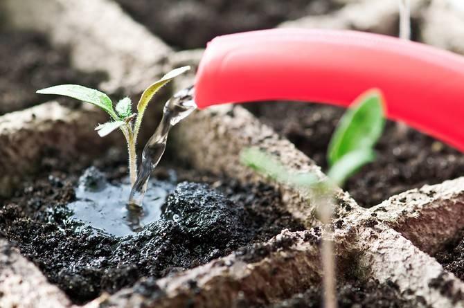 Медленно растет рассада помидор