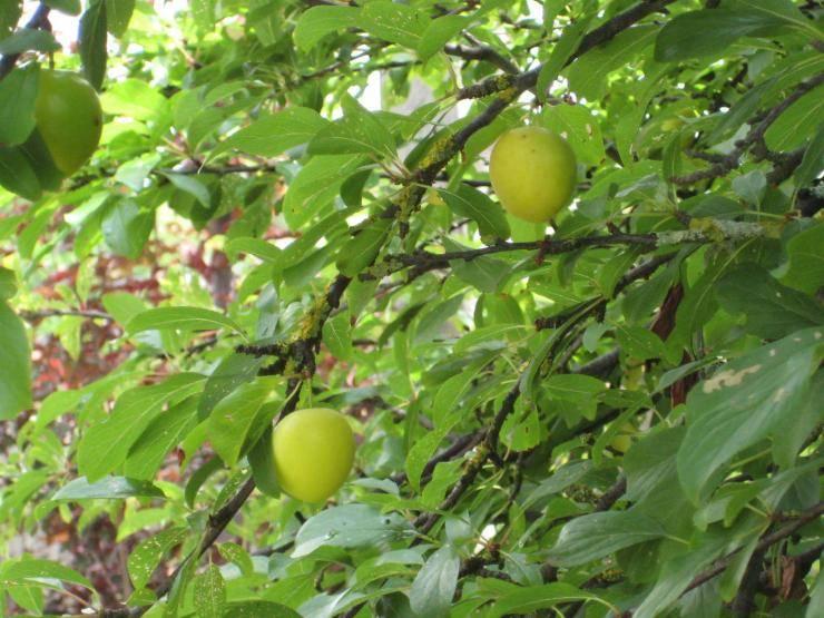 Обзор колоновидной сливы: её описание, сорта и правила выращивания