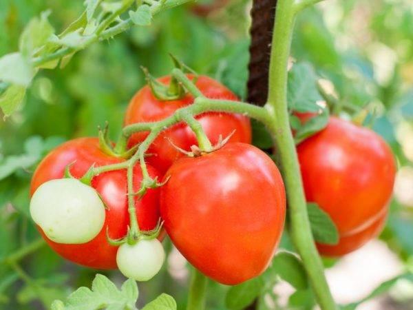 Универсальный и урожайный томат «ажур»: характеристика и описание сорта, фото