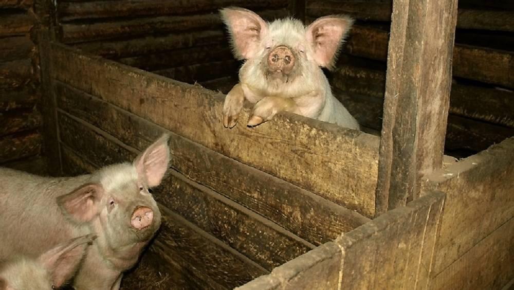 Как сделать свинарник: правильное строительство свинарника своими руками
