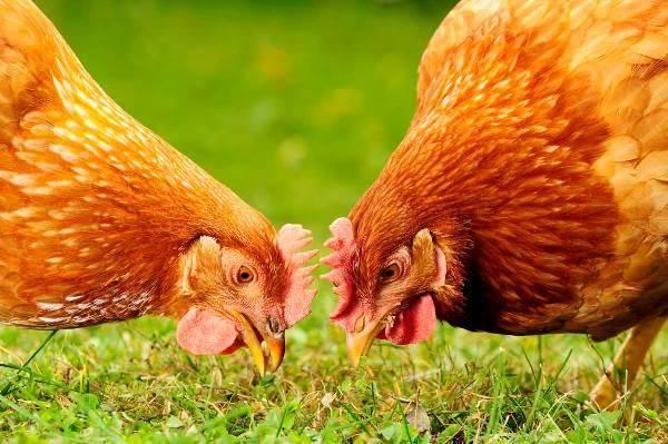 Сколько грамм корма нужно давать курице несушке в день