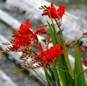 Описание и особенности выращивания японских гладиолусов, посадка и уход