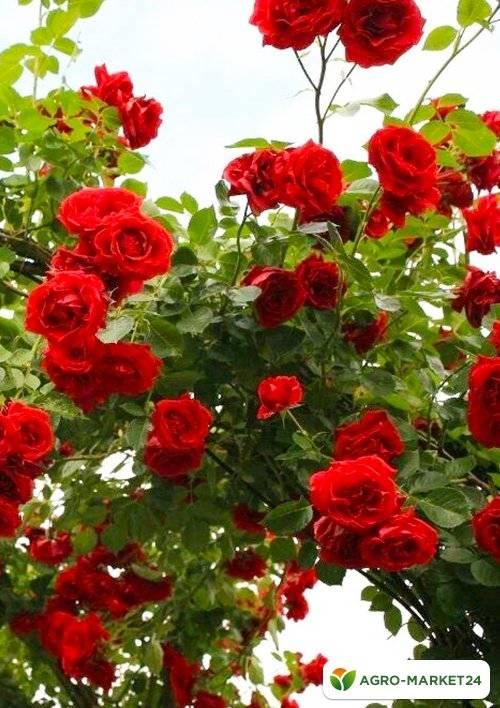Описание розы сорта кордана, посадка и уход, размножение в домашних условиях
