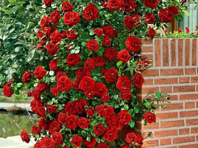 Westerland — плетистая роза-шраб от селекционера кордес