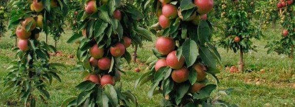 Яблоня колонновидная васюган: описание и характеристика сорта яблок