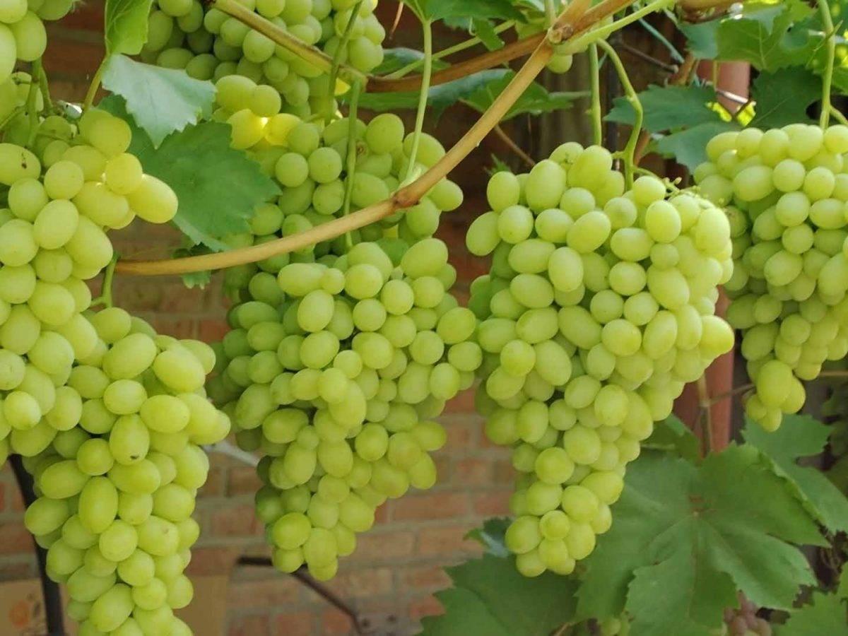 Лучистый кишмиш, описание, достоинства и отзывы о винограде