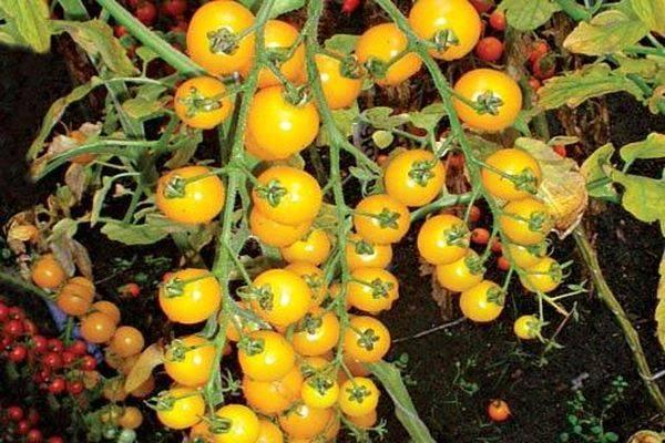Характеристика и описание сорта томата Вишня желтая (золотая)