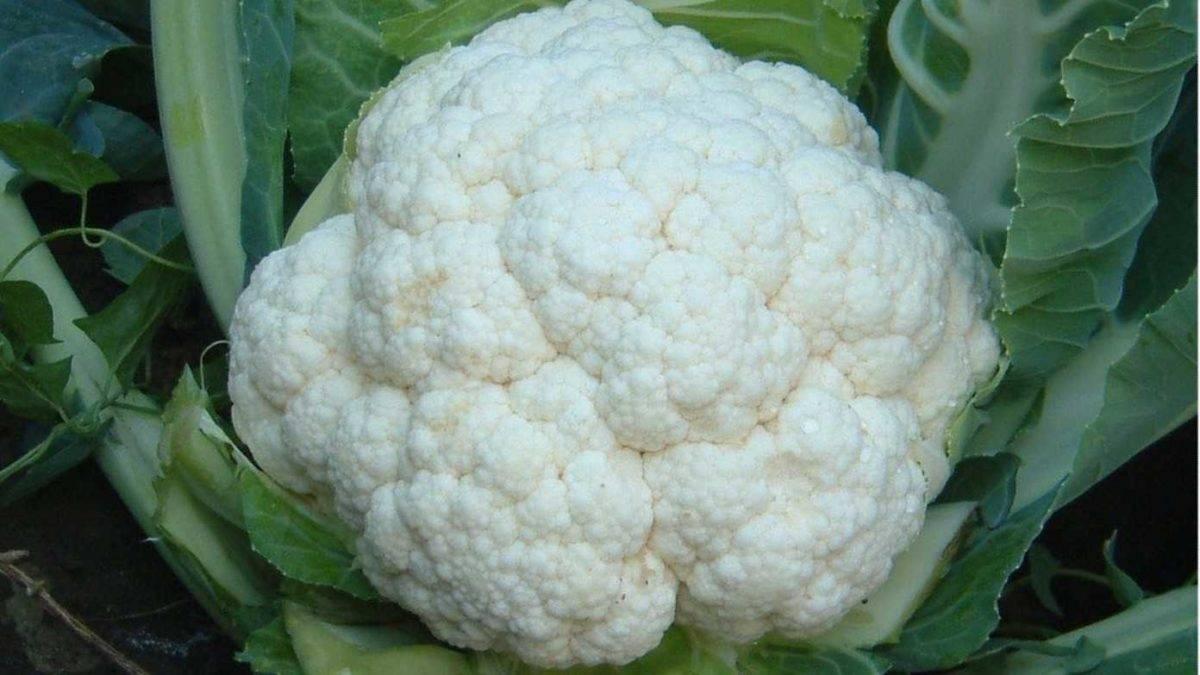Полезные советы огородникам, как вырастить крупную и здоровую белокочанную капусту