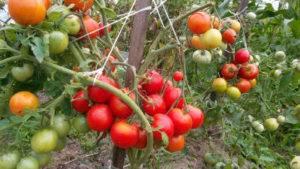 Рекордная морозостойкость с томатом «подснежник»: характеристика, описание сорта и фото