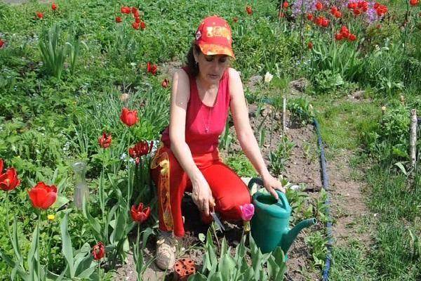 Секреты цветоводства: когда сажать тюльпаны осенью в подмосковье?