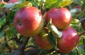 Описание и характеристики сорта яблони вишневое, посадка и выращивания