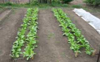 Лучшие сорта дайкона – саша, сахарная роза, мисато ред и другие. характеристика, нюансы выращивания
