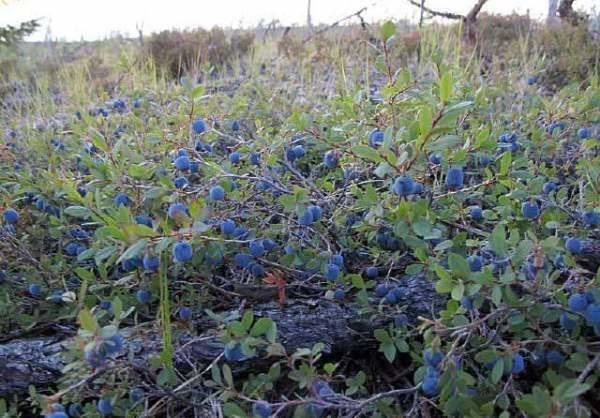 Выращивание сортов садовой голубики для подмосковья