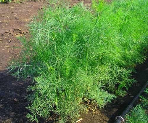 Как правильно выращивать укроп в открытом грунте?