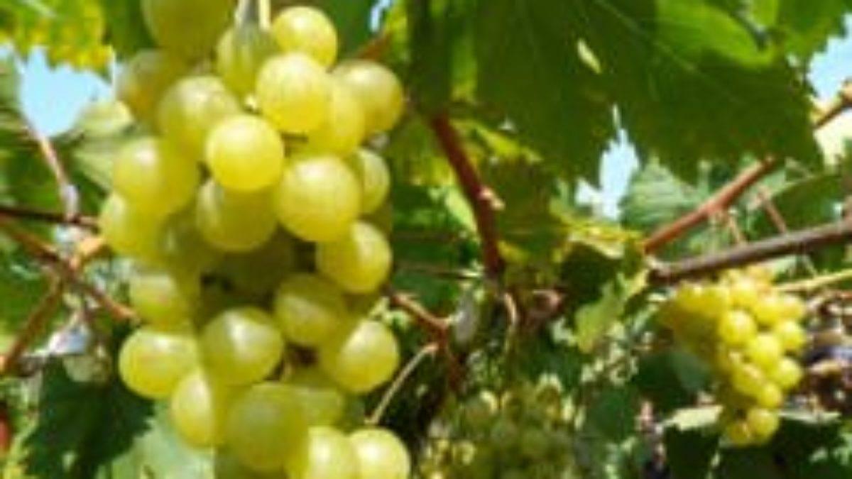 Виноград «кристалл»: описание сорта, фото и отзывы