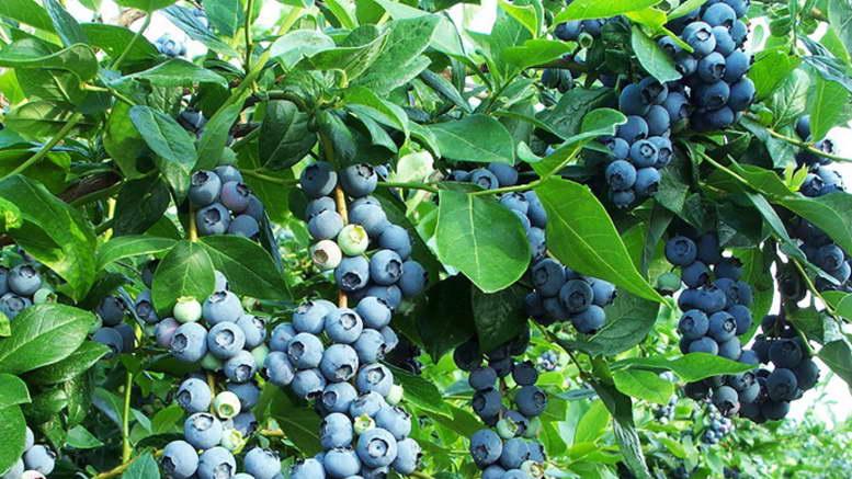 Голубика: посадка и уход, выращивание
