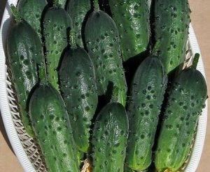 Огурец чудо хрустик: описание и характеристика сорта, урожайность с фото