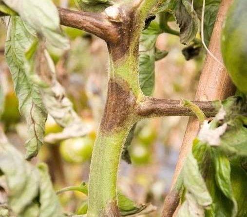 Черная ножка у рассады томатов: лечение и профилактика