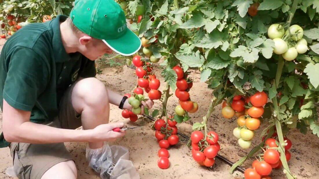 Неприхотливый сорт с необычным цветом и неповторимым вкусом — томат «черный принц» и особенности его выращивания