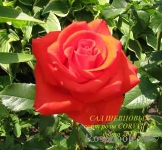 Кустовые розы: посадка и уход, выращивание и размножение