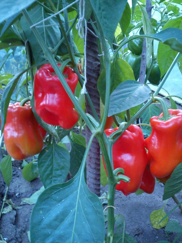 Урожайность, характеристика и описание сорта перца богатырь