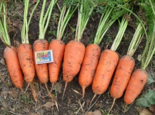 Морковь шантане 2461 описание и выращивание