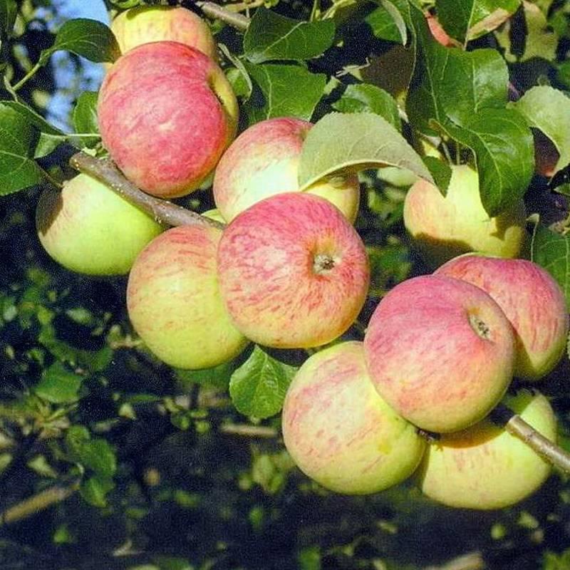 Алтайская яблоня алтынай