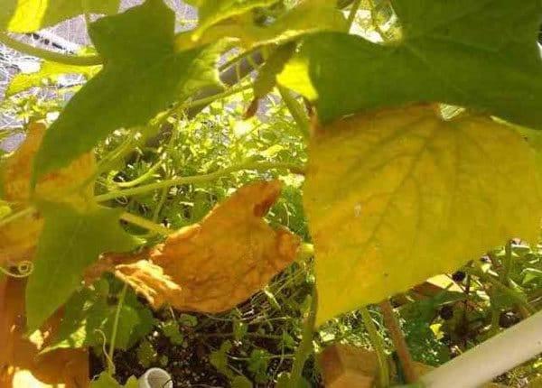 Пошаговая инструкция: что делать если желтеют огурцы в теплице