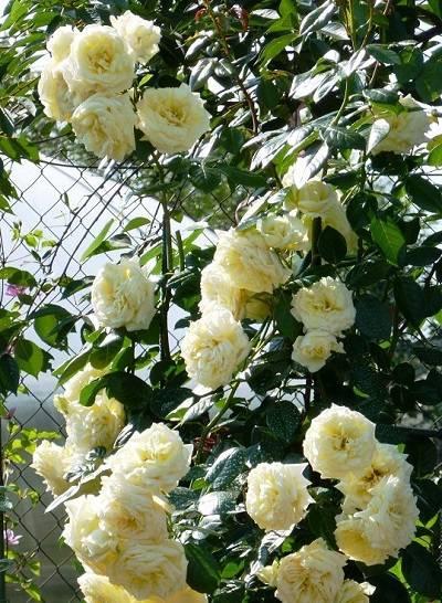 Роза сантана (santana) — характеристики сорта