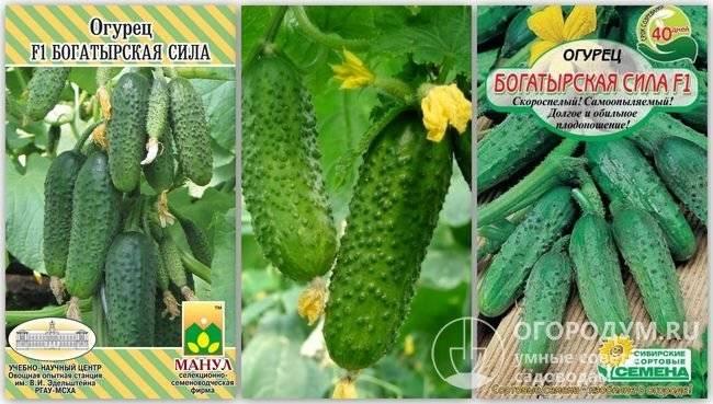 Огурец гинга: описание и характеристика сорта, особенности выращивания и ухода с фото