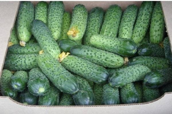 Огурцы сорта нежинский: как правильно выращивать и собирать урожай?