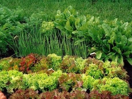 Что можно посадить после чеснока и лука, а также рядом с ними