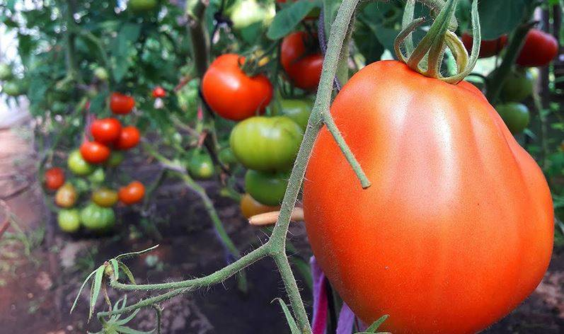 Выращивание томата пузата хата