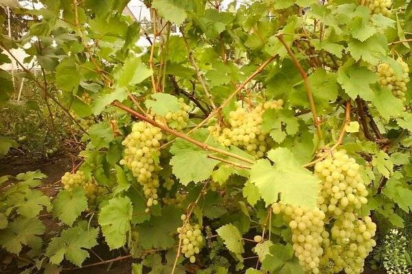 Сорт винограда «алешенькин», описание с фото и видео