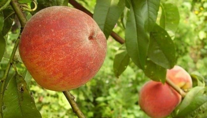 Лучшие сорта персиков 2019 года