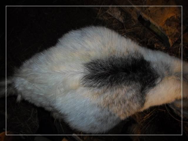 Сколько длится беременность у козы: сроки котности, первые признаки, уход во время беременности