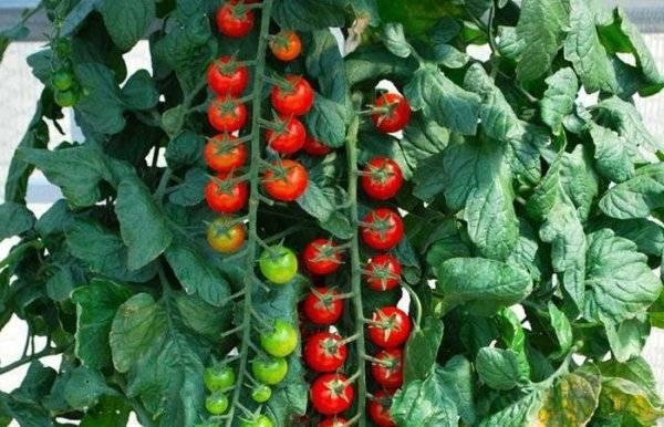 Завораживающий сорт томата «рапунцель»: описание и фото, особенности выращивания