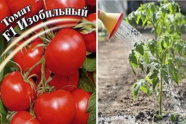 Томат сибирский изобильный: характеристика и описание сорта, урожайность с фото