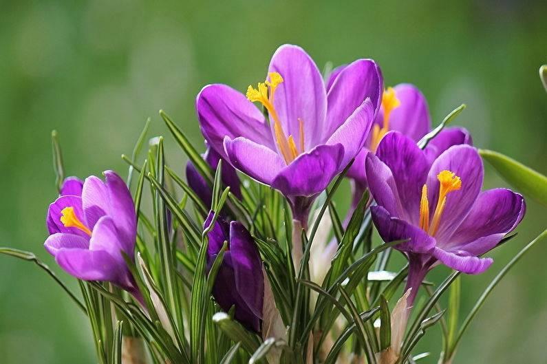 Крокусы: особенности посадки, выращивания и ухода в домашних условиях
